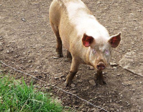 Les Cochons à Jacques 07