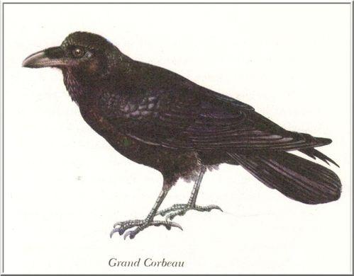 grand-corbeau.jpg