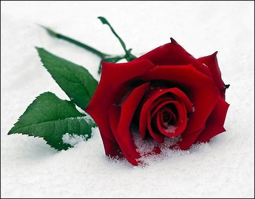 single-rose-snow-red.jpg