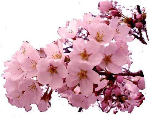 cherry-blossome.jpg