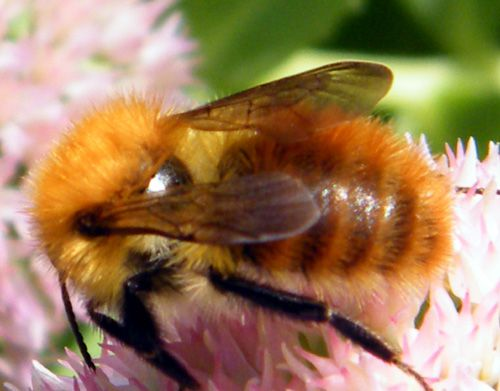 bourdon-des-champs-agrorum-floralis-2.