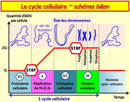 cycle-cellulaire.png
