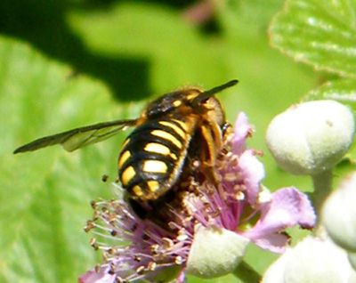 anthidium-florentinum