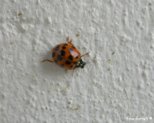 coccinelles inra