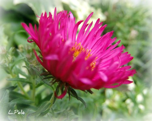 pavot-simple--aster-048_picnik.jpg