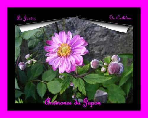 anemonne-du-Japon-7-Aout-2014--56-.JPG