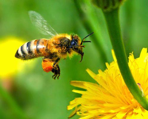 abeille 1