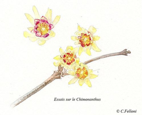 chimonanthus5.jpg