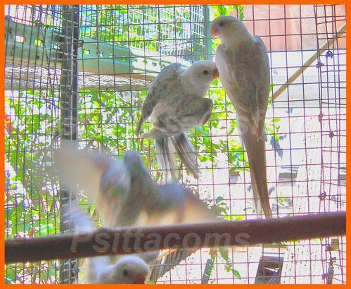 2 jeunes bleu opaline pastelino et cinnamon avec les parent