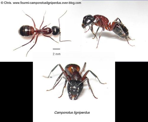 Ouvriere-Camponotus-ligniperdus.jpg