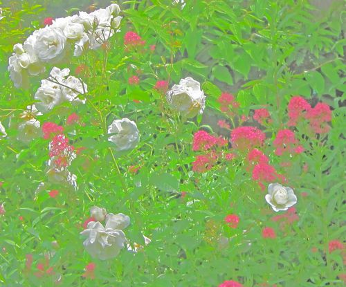 Roses-blanches-2.jpg