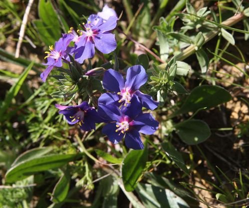 Anagallis-arvensis-subsp.platyphylla.jpg