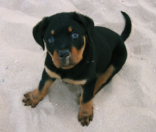Kenji-on-the-beach---rottweiler-playa-arena-rott-cachorro-p.JPG