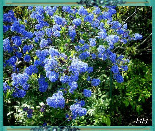 Arbuste bleu