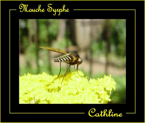 MOUCHE SYRPHE