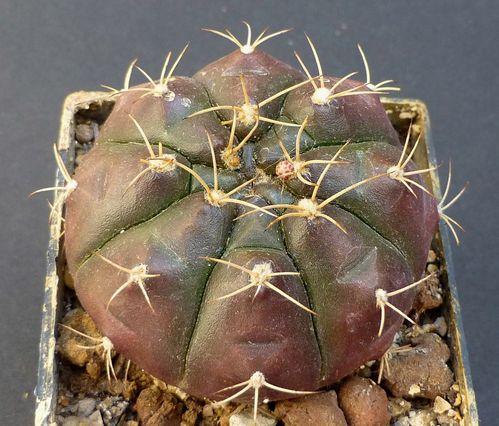 Gymnocalycium damsii ssp evae aout 12 3