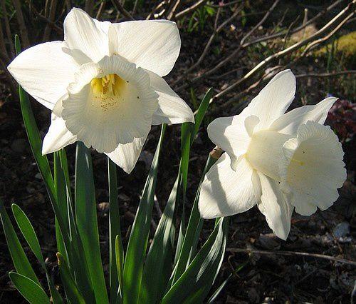 narcissus-Mount-Hood-24-avr-10.jpg