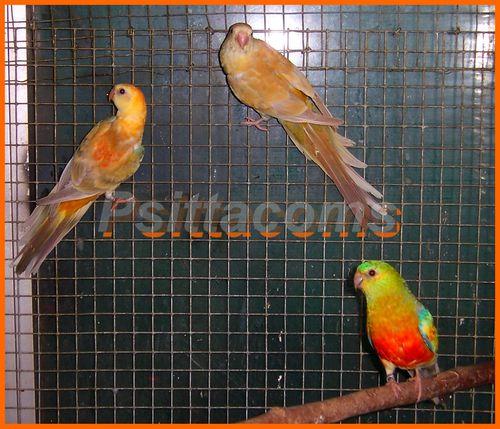 sortie du nid,p7, jeune femelle croupion en opaline-pastel-