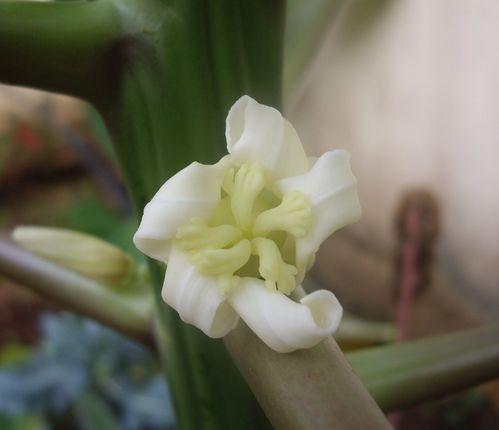fleur papayer 1