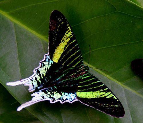 papillon113.jpg