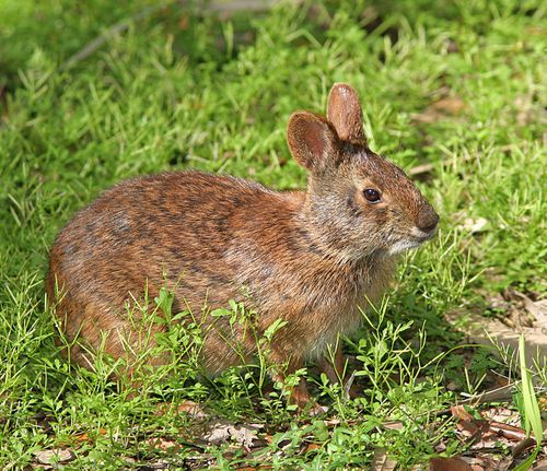 Marsh_Rabbit.jpg