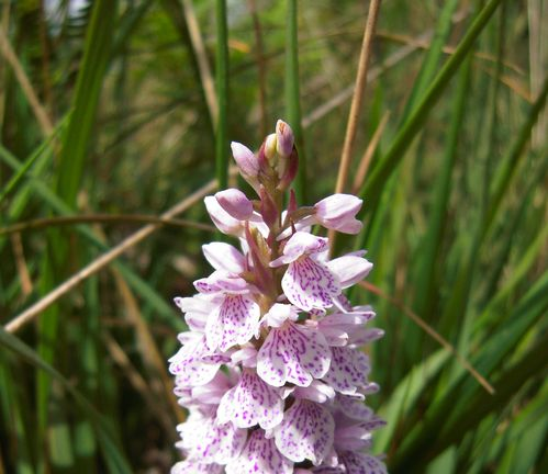 Orchis Incarnat(1)