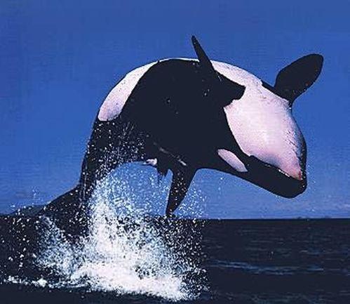 durée de vie des orques