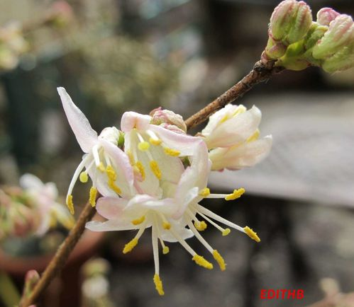CHEVREFEUILLE LONICERA FRAGRANTISSIMA