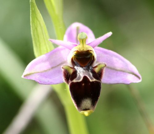 Ophrys Scolopax2p