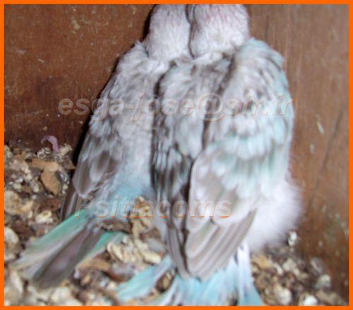 2 jeunes bleu opaline pastel et cinnamon