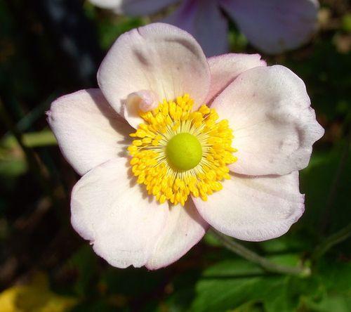 a anémone rose
