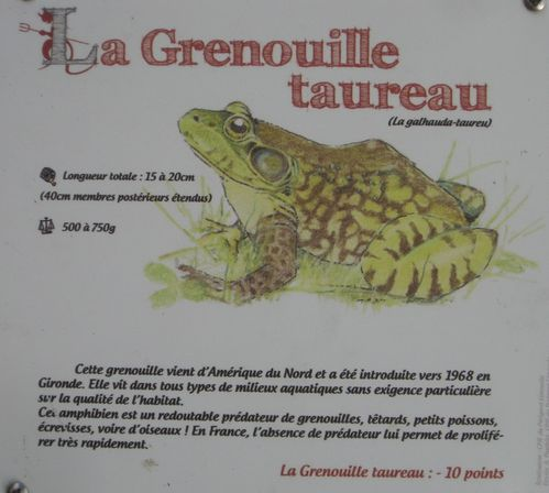 StEstephe grenouille