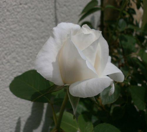 Roses-17-mai-2012-010.JPG