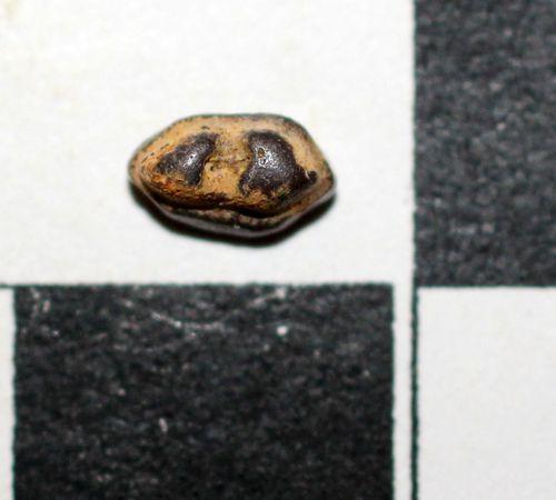 dent de Pseudohypolophus mcnuiltyi 1a-copie-1