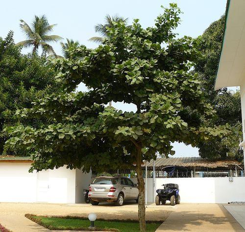 badamier-congo-arbre