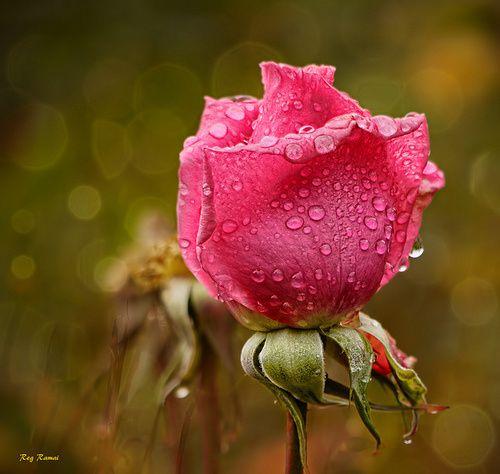 Rose-rose-pluie.jpg