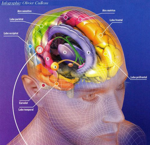 infographie du cerveau