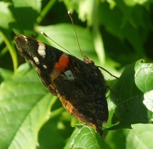 Papillon le Vulcain (3)