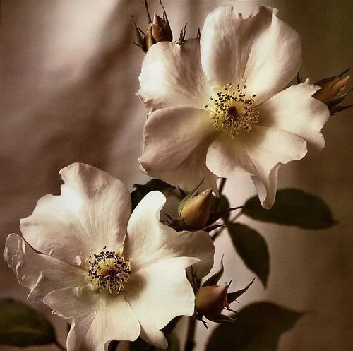 Tim-Richter-Wild-Rose