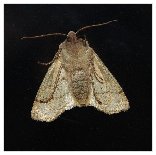 Eupsilia transversa - Le Satellite - dessous 1