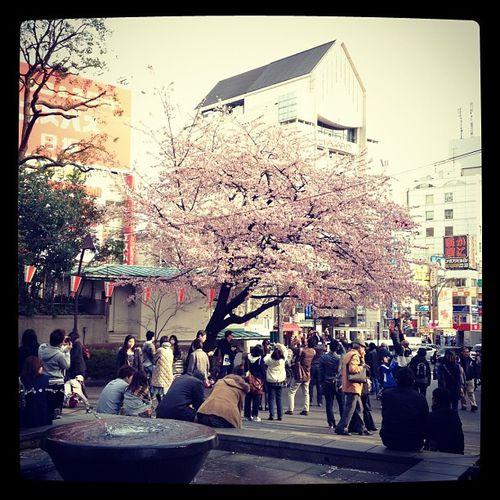 Cerisier en fleur - Cherry blossom - Tokyo 2012 - © InVarietateConcordia.net