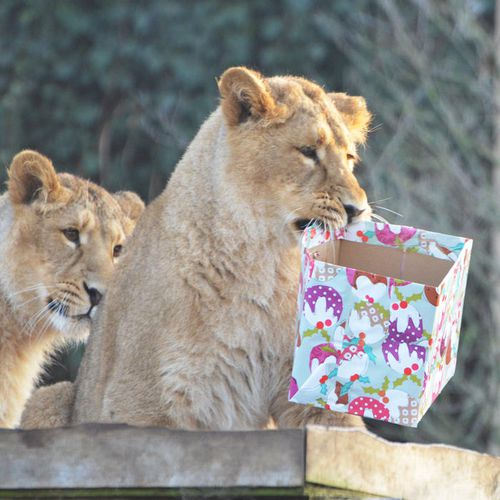 lion-cubs-with-christmas-presents-12883