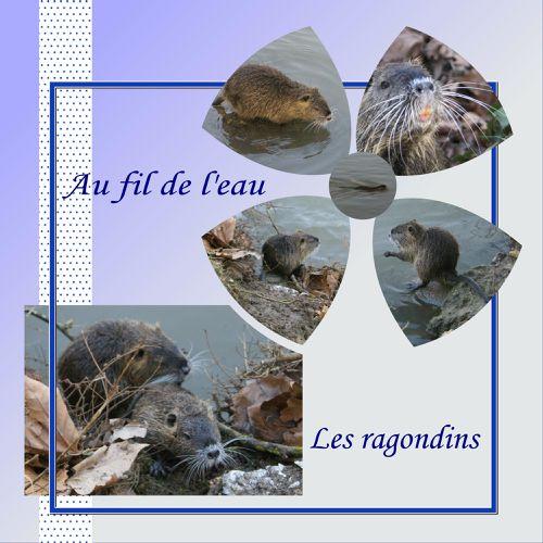 Realisation du 31-01-09 les ragondins