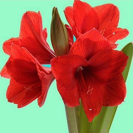 Jardin le blog de for Amaryllis culture
