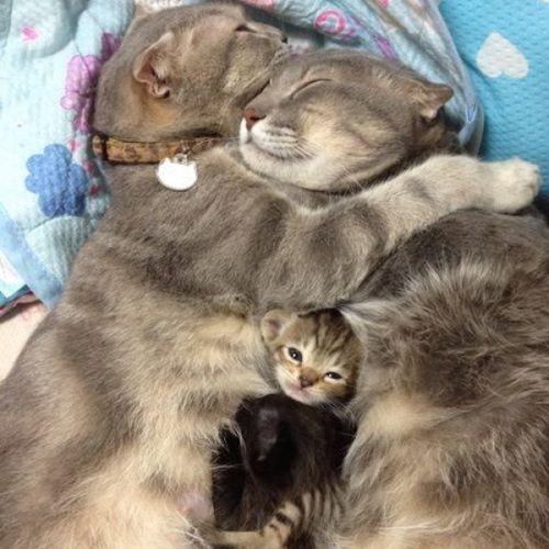 Calin-de-chats-et-chaton.jpg