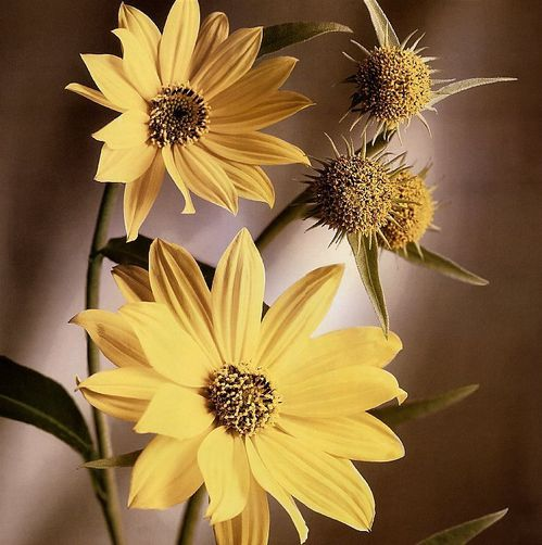 Tim-Richter-Maximillian-Sunflower