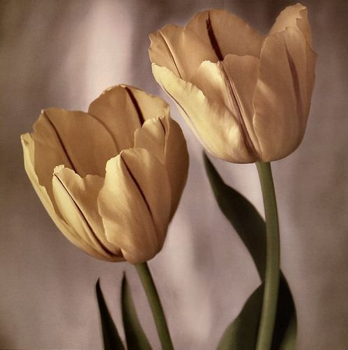 Tim-Richter-Tulips