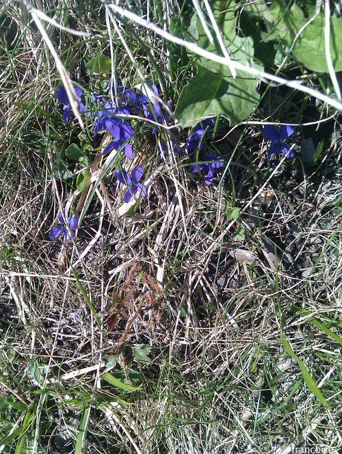 violette des alpes