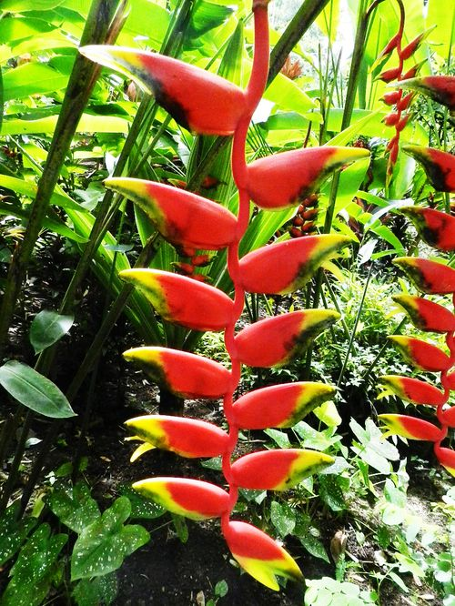 Heliconia Rostrata Ste Lucie 1