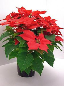 poinsettia-pot